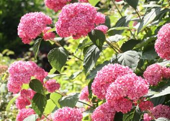 hydrangea arborescens 39 pink annabelle 39. Black Bedroom Furniture Sets. Home Design Ideas